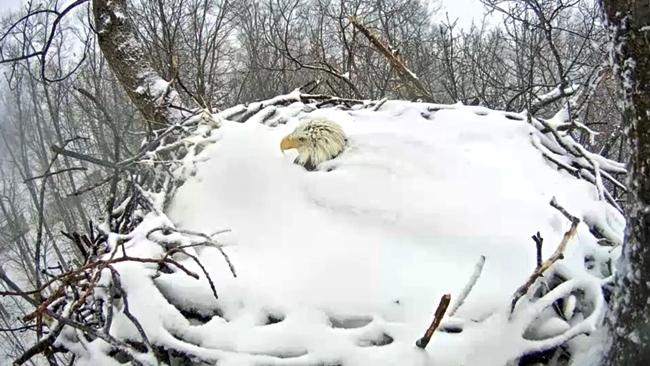 eagle_snow_80901