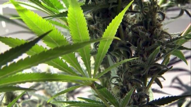 marijuana_139183