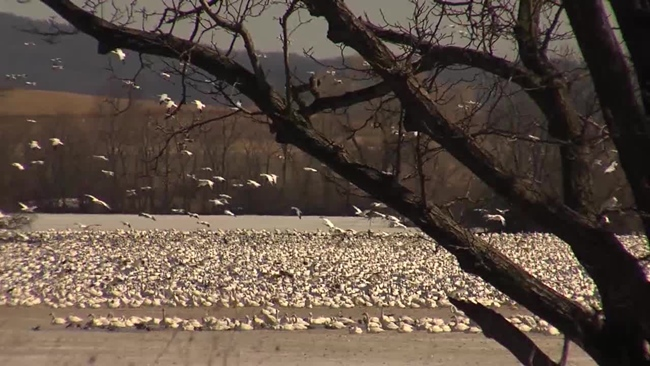 middle_creek_snow_geese_699310
