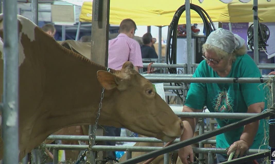 Dairy cattle, milkshakes return to Farm Show Complex