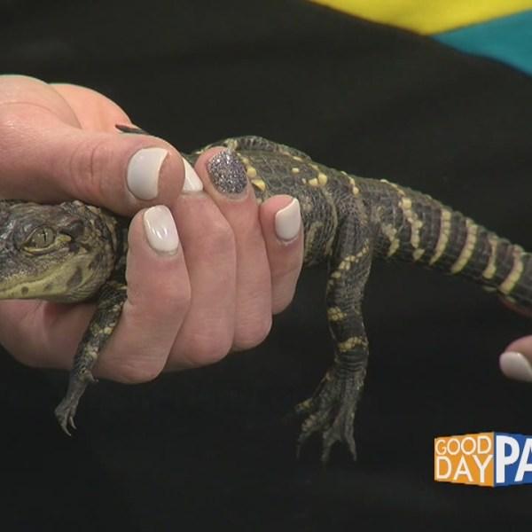 Creature Feature: Alligators