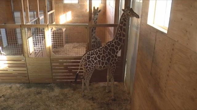April the Giraffe_479291