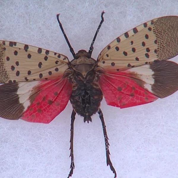 spotted_lanternfly_1557351816142.jpg