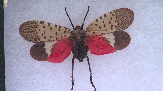 Pennsylvania takes aim at spotted lanternfly