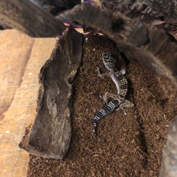 gecko_1559062764275.jpg