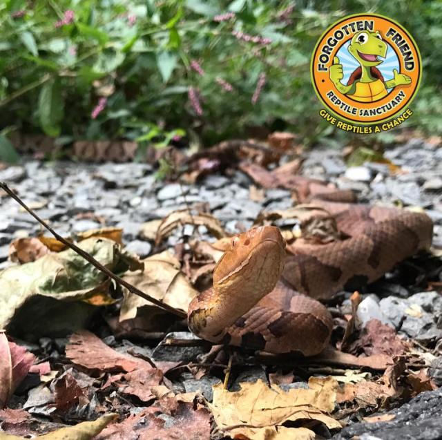 Venomous copperheads mating on busy Lancaster County bike trail
