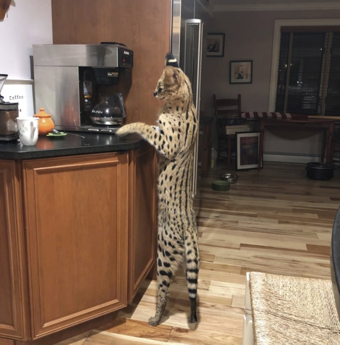 Merrimack Nh Halloween 2020 Spartacus the serval cat found safe after escape from home | ABC27