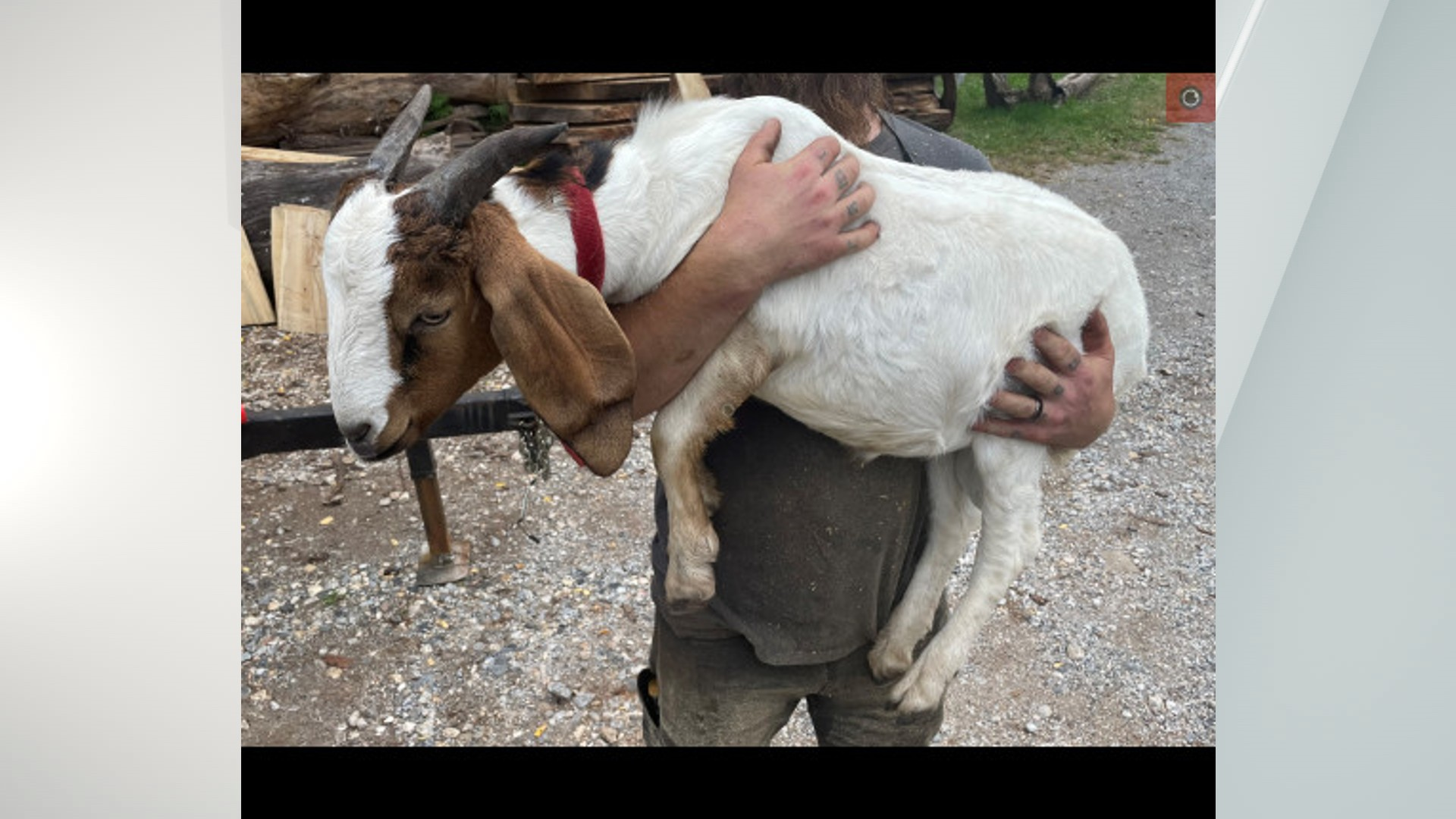 York County saved goat